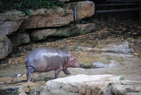 Hippopotames Amneville (5)