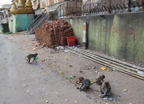 Les macaques du mont Popa