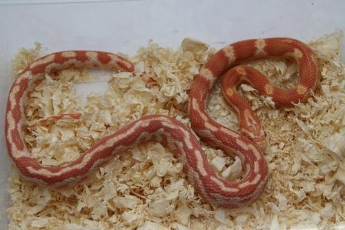 Serpents à vendre