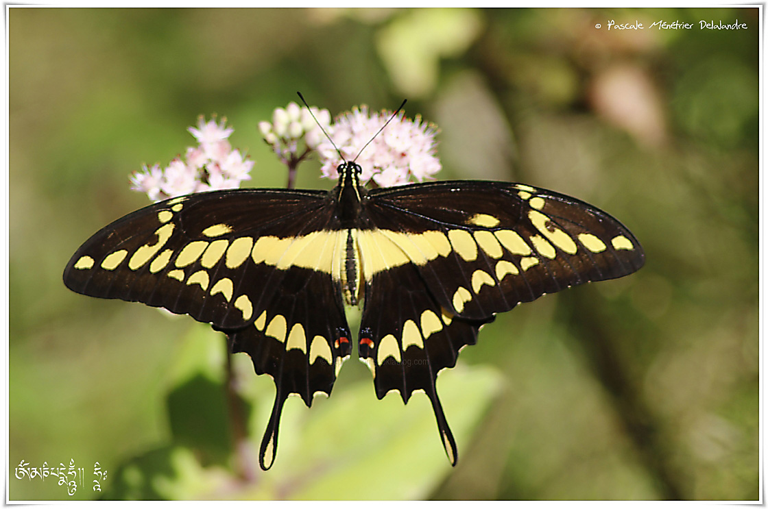 Grand porte-queue (Papilio cresphontes) - Papilionidae