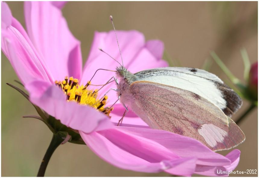 Macro-Papillon 0359 copie