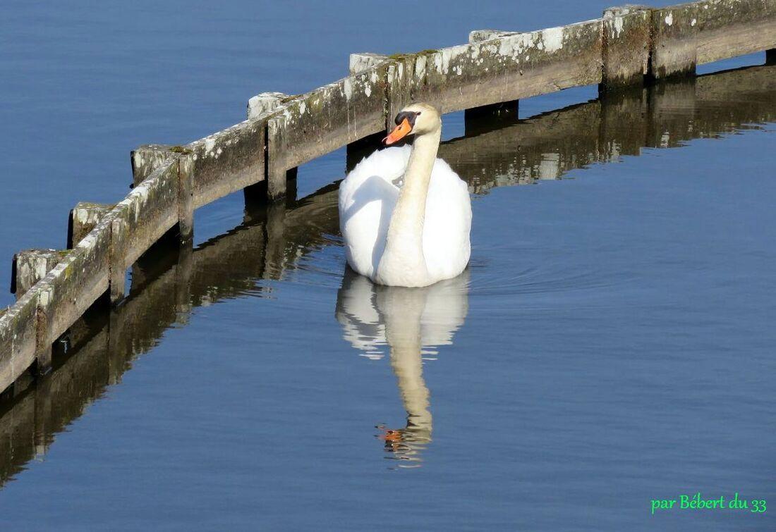 Cygne et reflets d'eau