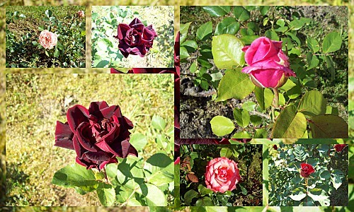 Mes roses le 24 mai 2010
