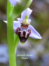 (endemic to cyprus) ophrys lapethica -lapta orkidesi- lapithos bee-orchid  (6)