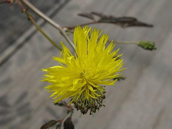 800px-Neptunia oleracea1