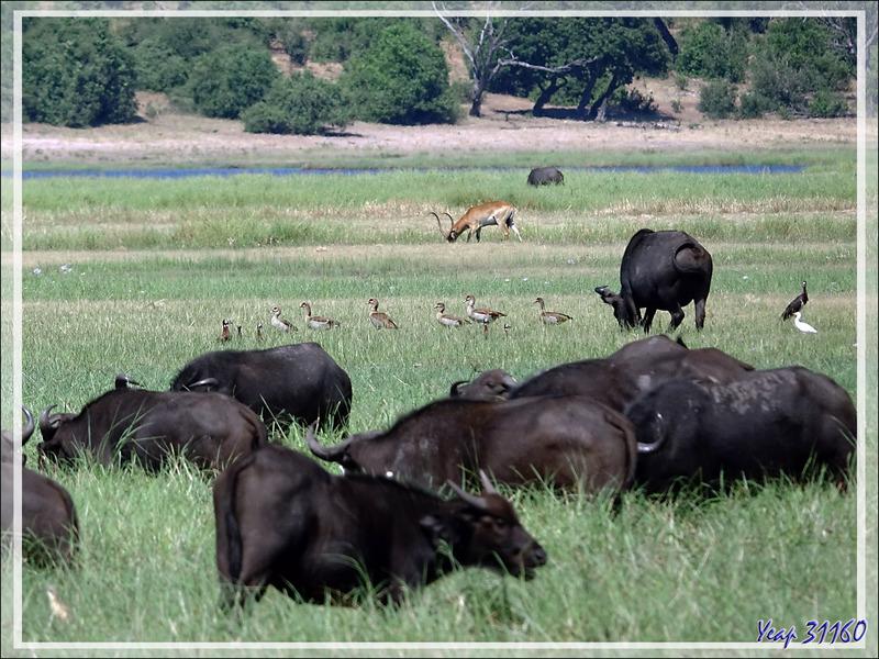 Zone humide aux buffles  - Safari nautique - Parc National de Chobe - Botswana