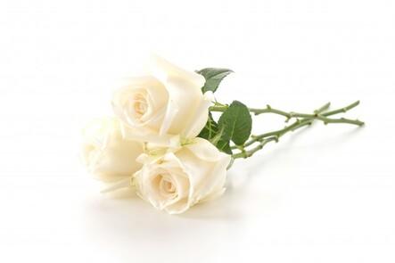 Rose Blanche | Photo Gratuite