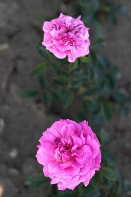 Les Roses de Warren : Fine Dressin