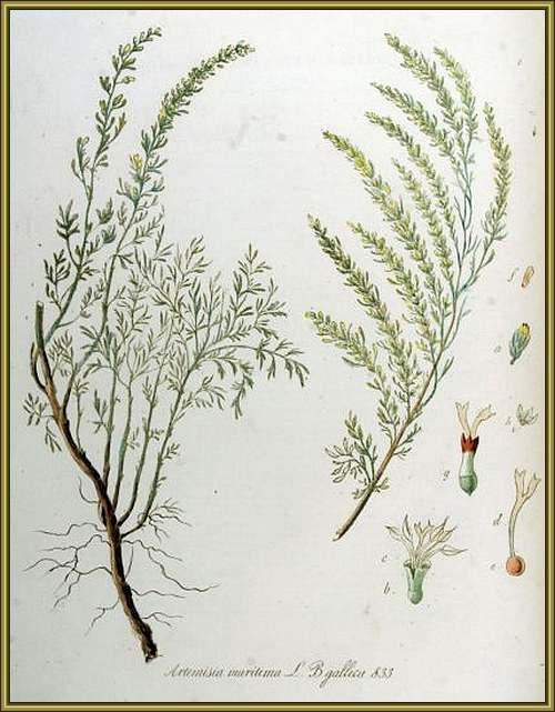 Vertus médicinales des plantes sauvages : Sémentine