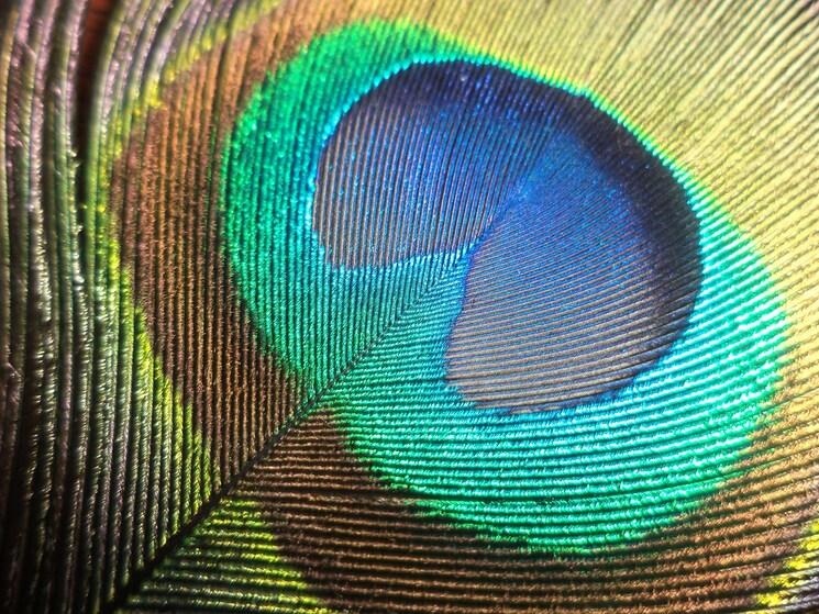 Zoom sur la plume de paon