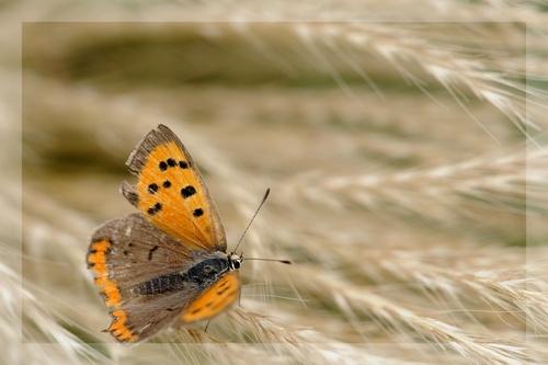 Papillon par ci , Papillon par là...