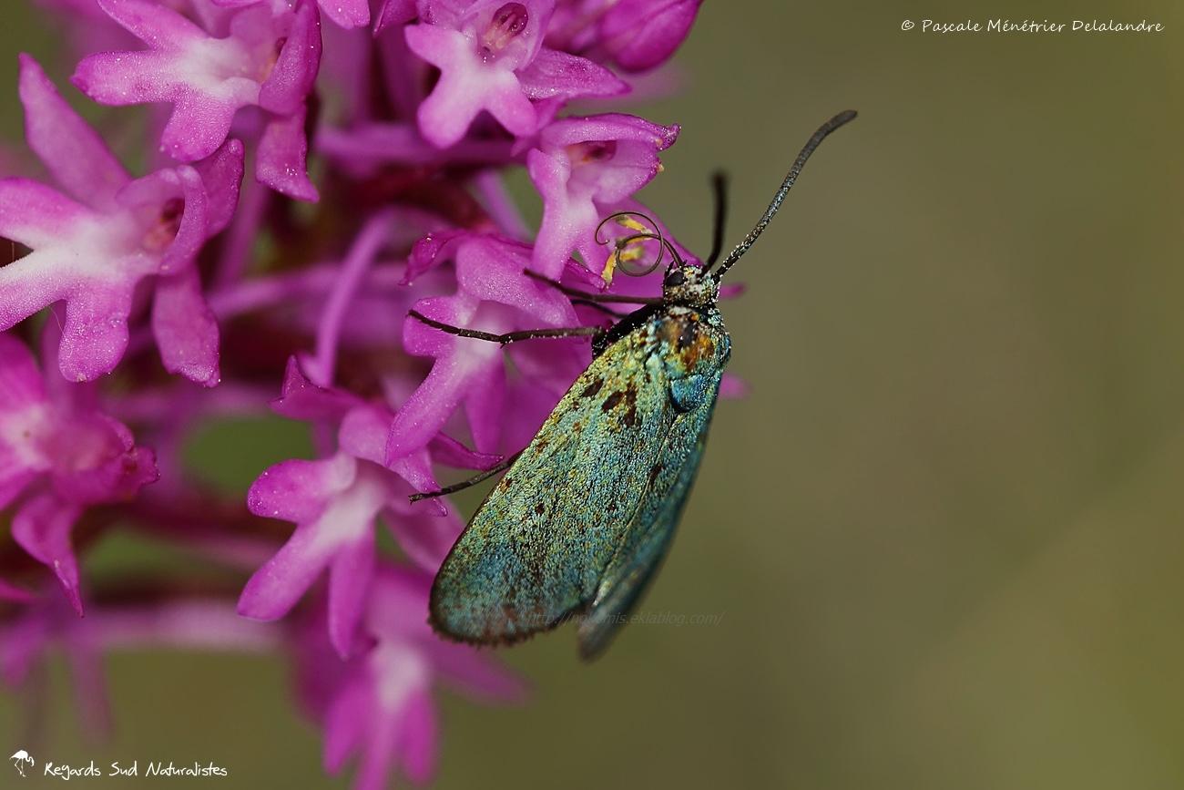 Procris du prunellier ♀ - Rhagades pruni - Zygaenidae procridinae