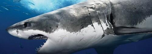 Tiburón toro o también llamado tiburón bacota