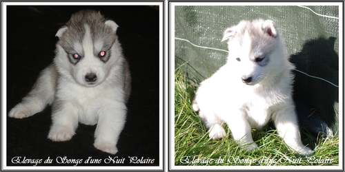 Prendre son Husky en photo (28 juin 2013)