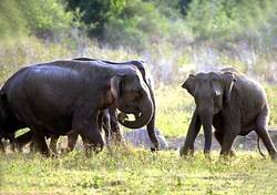Eléphants d'Asie