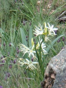 Pancratium d'Illyrie (Corse)