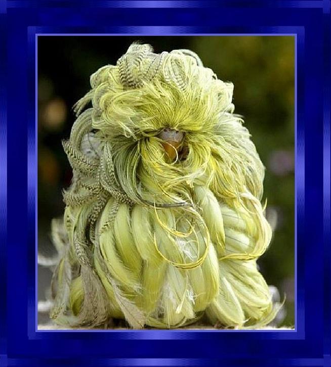 La Perruche mutant «plumeau»