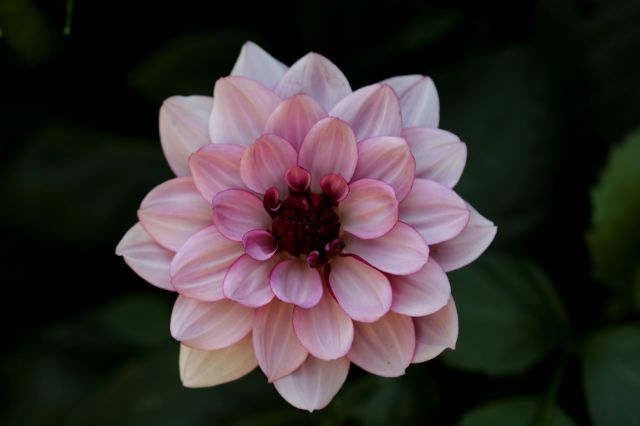 Dahlias : Séduction