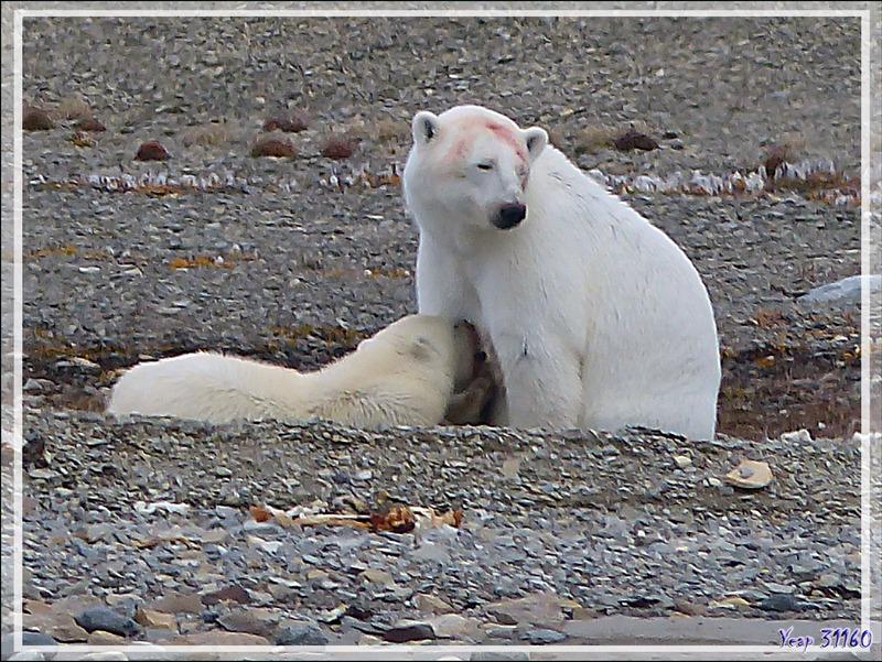 Nous revenons à nos cinquième et sixième ours  car l'ourson, ayant une petite soif, s'est mis à téter sa mère - Guillemard Bay - Prince of Wales Island - Nunavut - Canada