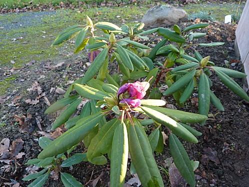 rodhodendron-le-29-11-2010-002.jpg