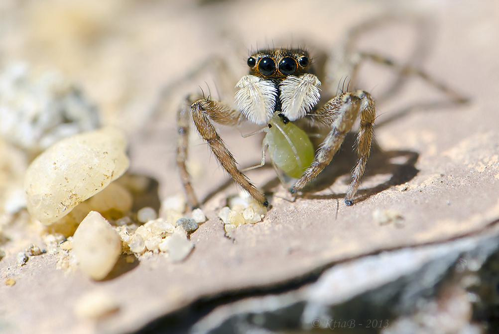 araignée sauteuse, salticidae