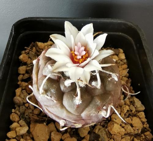 Cactées fleuries de la semaine