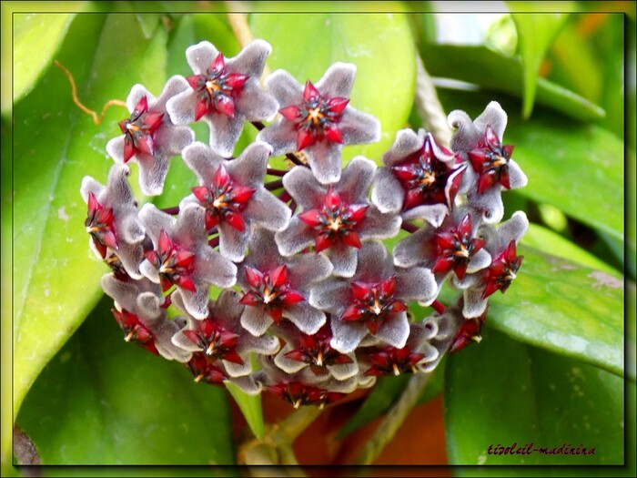 J 9 Confinement - Fleurs Hoya carnosa