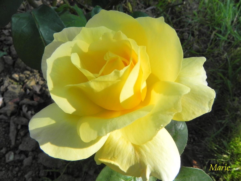 citations sur la rose au nom de la rose. Black Bedroom Furniture Sets. Home Design Ideas