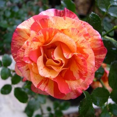 Roses, de toutes les couleurs - artiste mal voyante