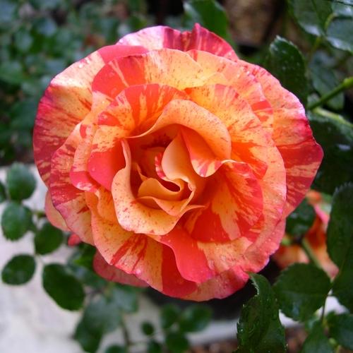 Les roses tellement belles