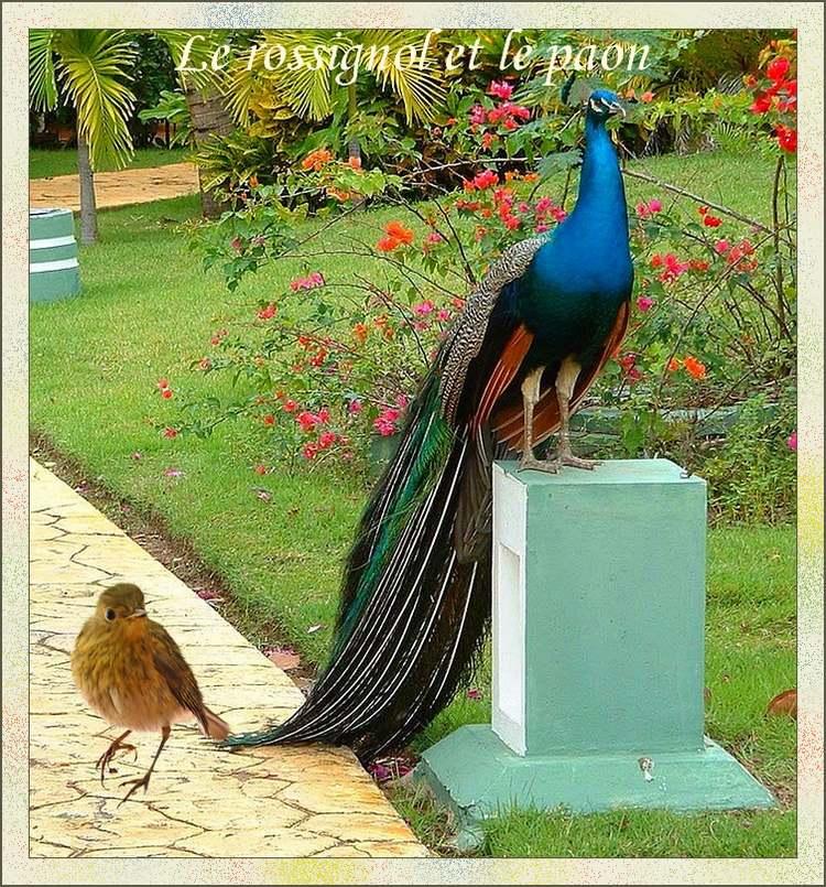 """"""" Le rossignol et le paon """"    poème de"""