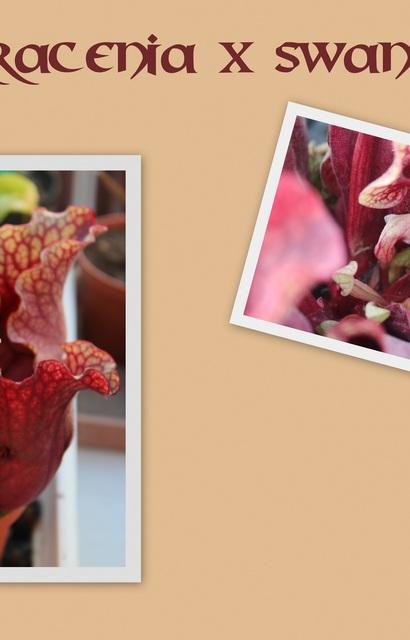 Plante Carnivore Sarracenia X Swaniana