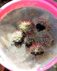 Mammillaria Zeilmanniana - Rejets à planter