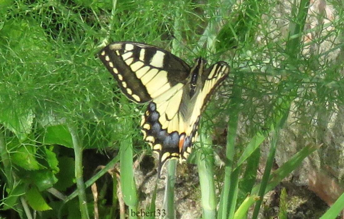 mon papillon Machaon