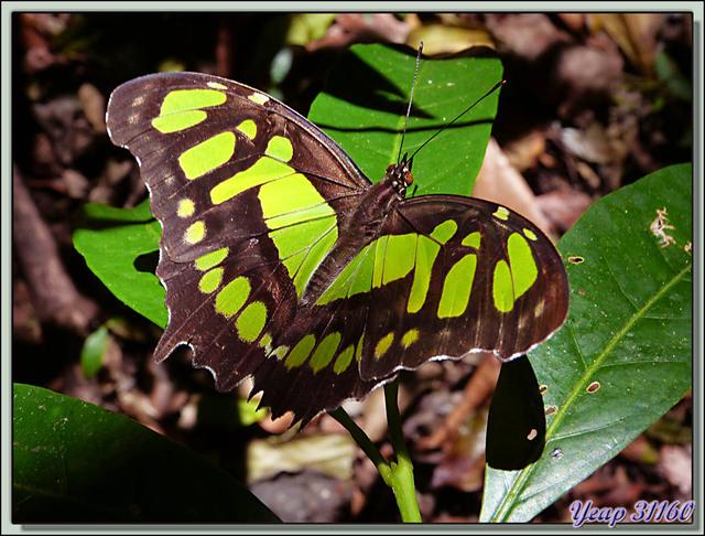 Blog de images-du-pays-des-ours : Images du Pays des Ours (et d'ailleurs ...), Papillon Malachite (Siproeta stelenes) - Rincon de la Vieja - Costa Rica