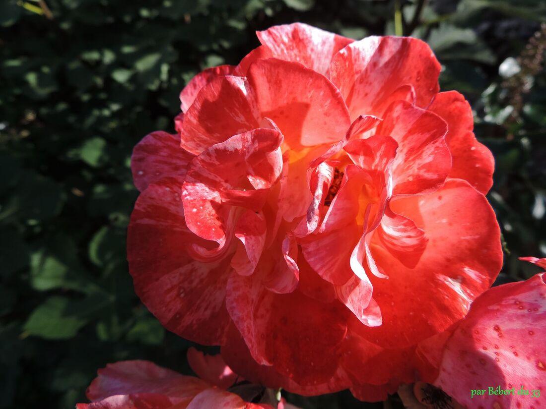 une rose à Pellegrue (33)