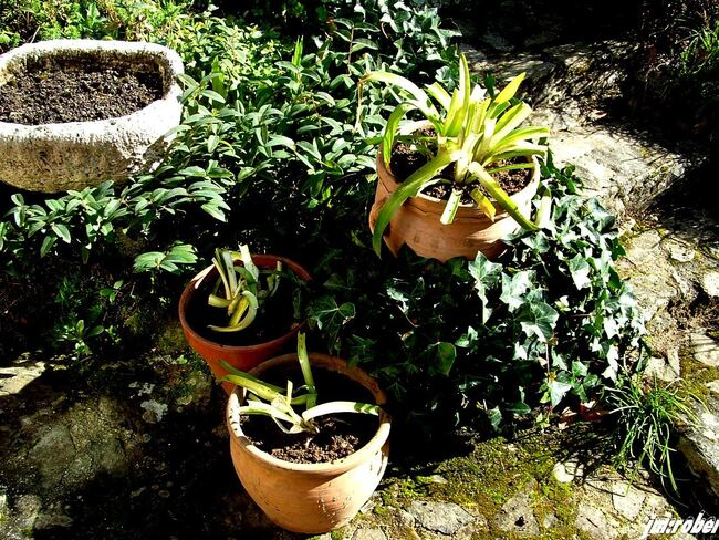 Jardin:  Comment et quand diviser une agapanthe en pot ?