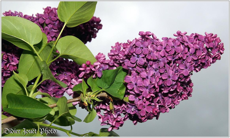 Lilas Commun / Syringa vulgaris