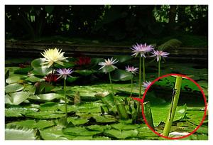 Lotus et nénuphars !!!
