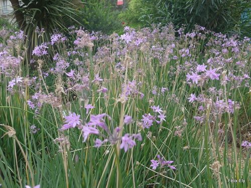 Des fleurs : l'agapanthe