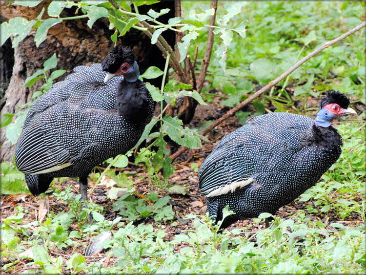 Pintade Huppée (Zoo de Doué la Fontaine)