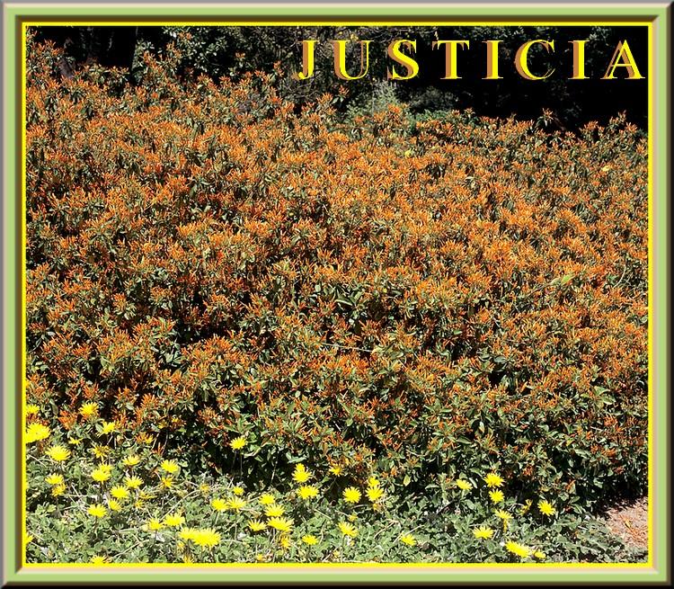 Fleurs cultivées : Justicia