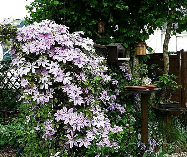 Clematite-Nelly-moser-P1180812.JPG