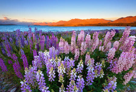 blooming colourful lupins at Lake Tekapo
