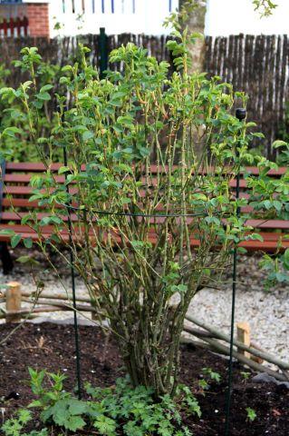 Roseraie : semis d'annuelles en place