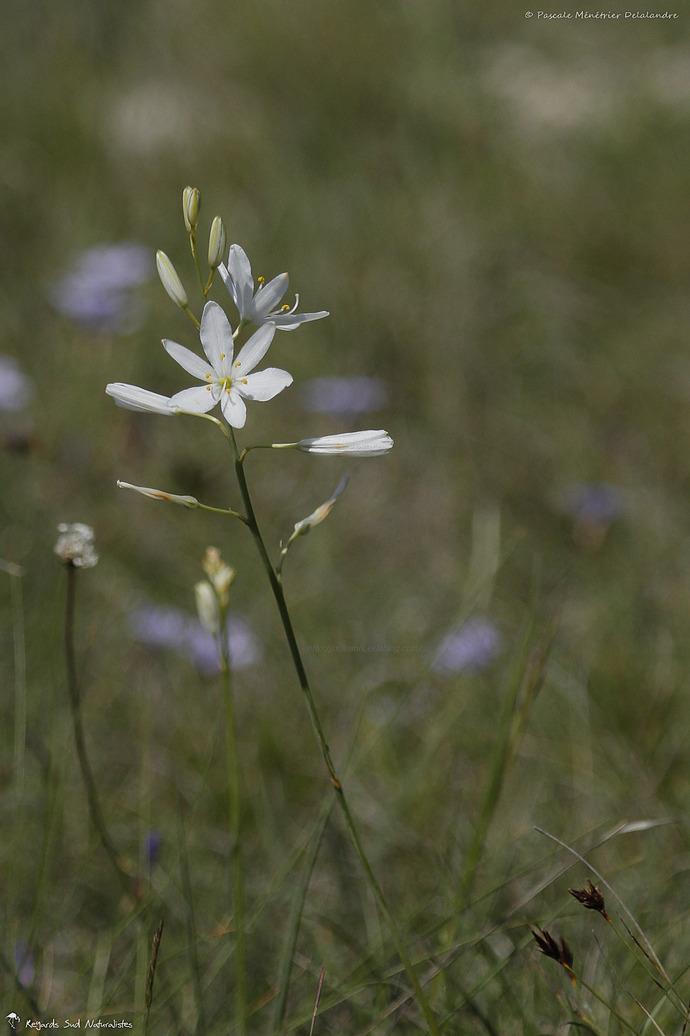 Phalangère à fleurs de Lis - Anthericum liliago