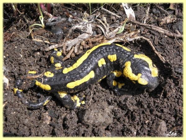 P5168904 salamandre