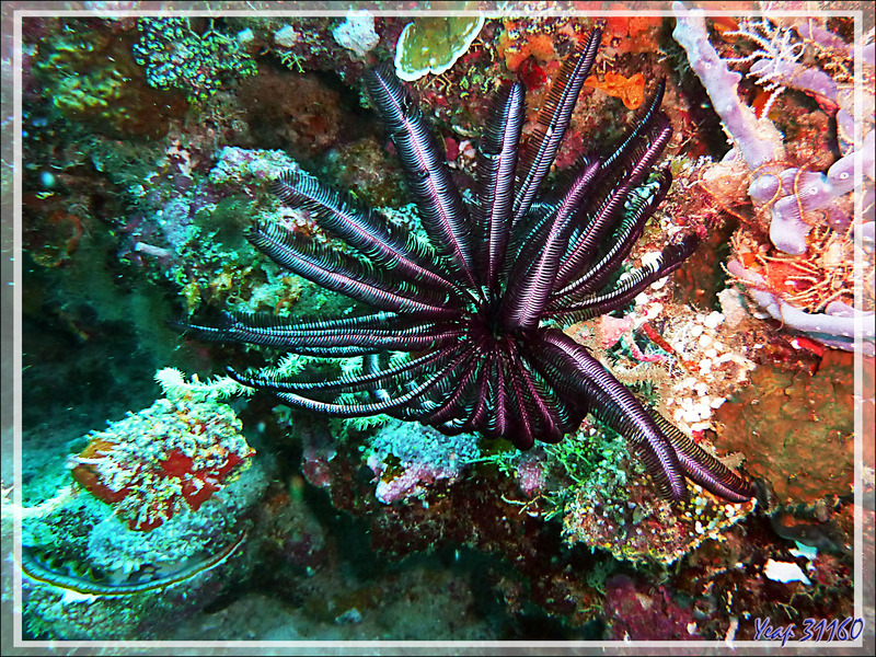 Comatule de Schlegel, Variable bushy feather star, Schlegel's feather star (Comaster schlegelii) - Moofushi - Atoll d'Ari - Maldives