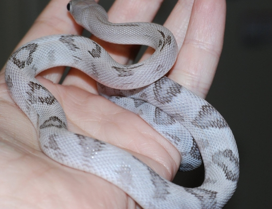 Trans pecos ratsnake - Silver (13)