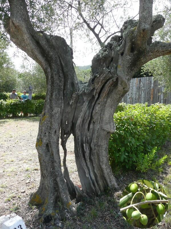 Images insolites de vacances vieil olivier